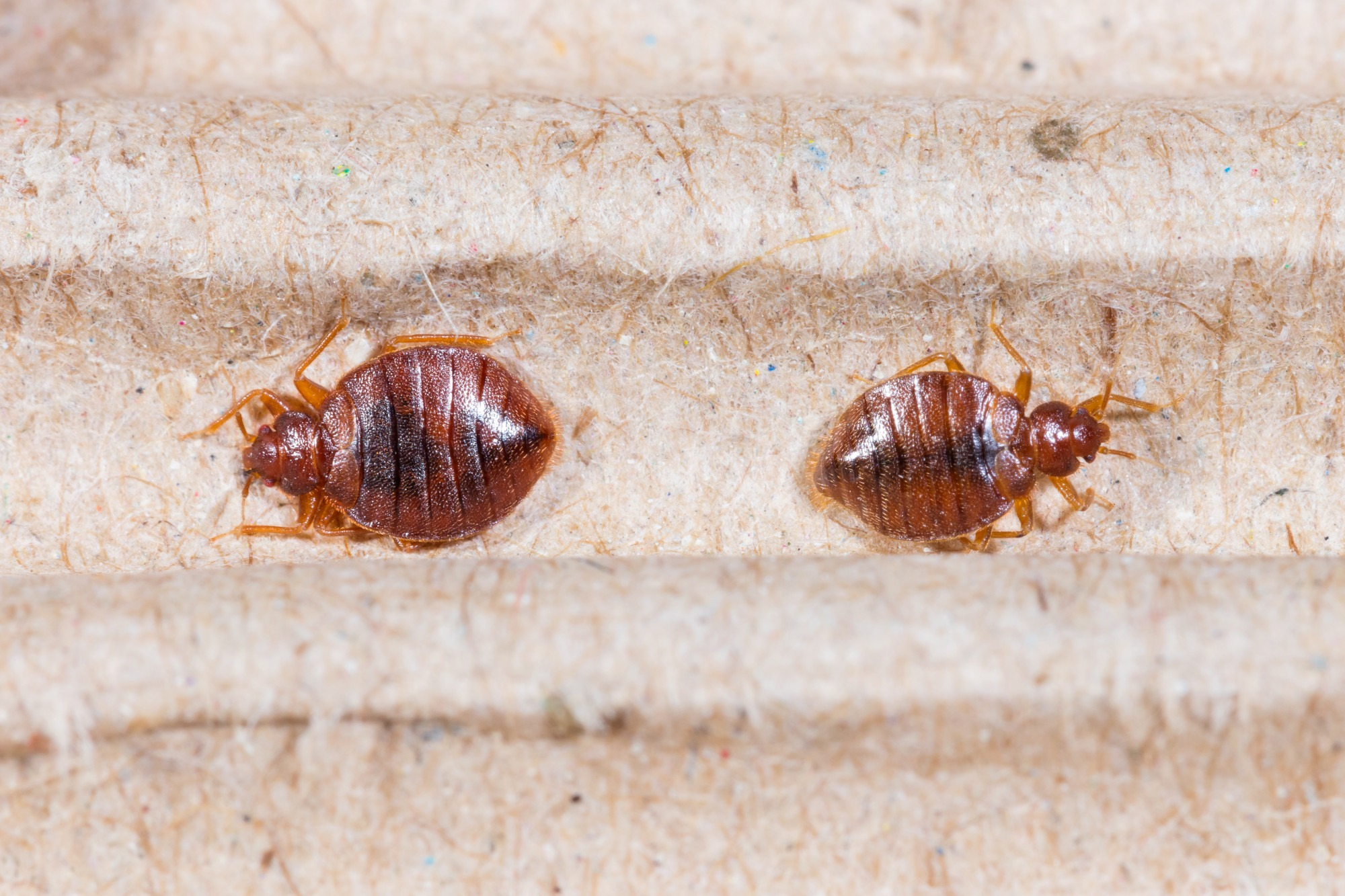Bed Bug Control: The Warning Signs of Bed Bugs